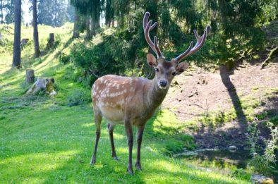 Hirsch im Tierpark Rosegg